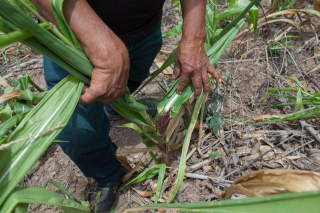 IMG_4317 2 corn.jpg