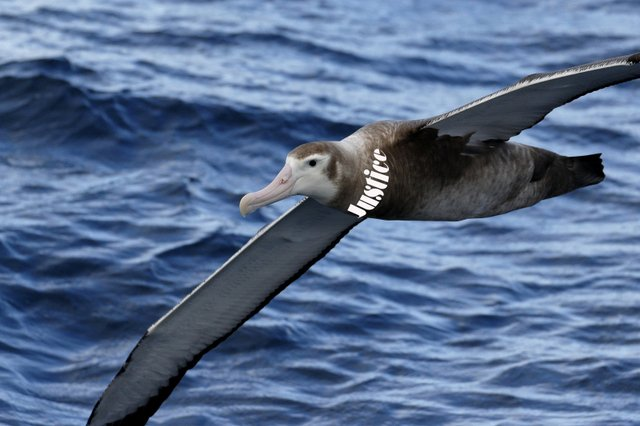 albatross of justice.jpg