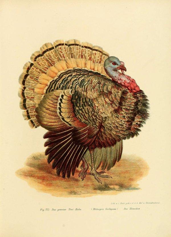 turkey illustration.jpg
