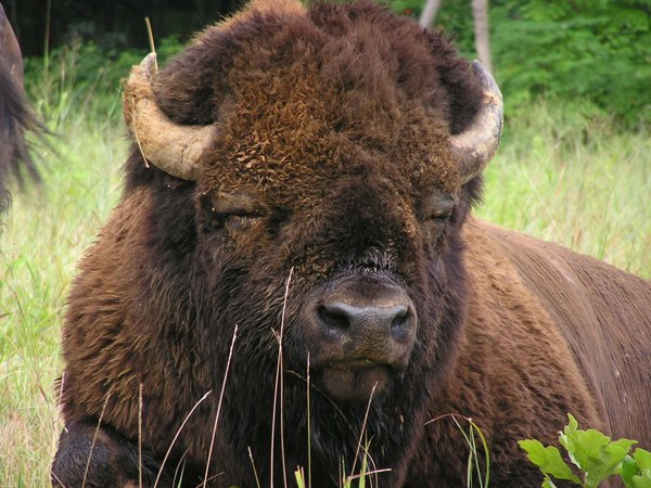 woodlands-trace-up-close-to-an-american-bison-b68909-1600.jpg