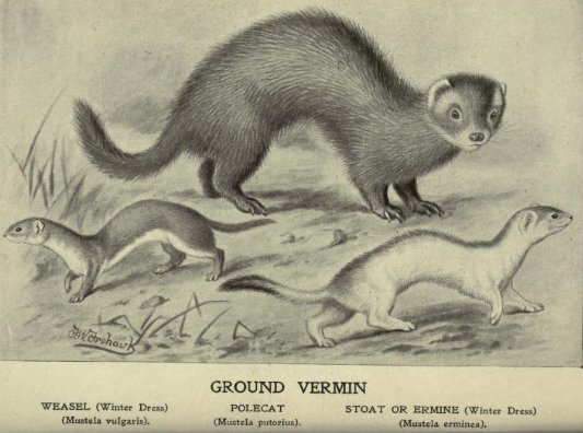 Weasel,_stoat_&_fitch.png