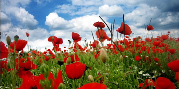 In Flanders Field Poppies Grow.png