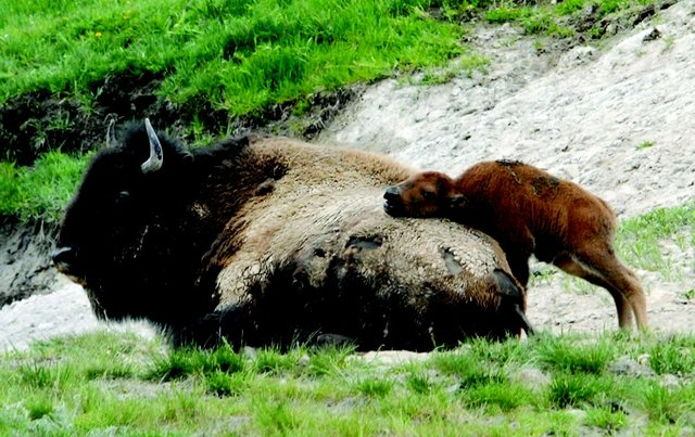 American-Bison-calf-was-using-its-mother-as-a-scratching-post-in-Hayden-Valley-Yellowstone-National-Park.jpg.jpe