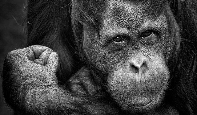 chimpanzee-1780951_1280.jpg.jpe