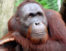Portrait_of_an_Orangutan_2012.JPG