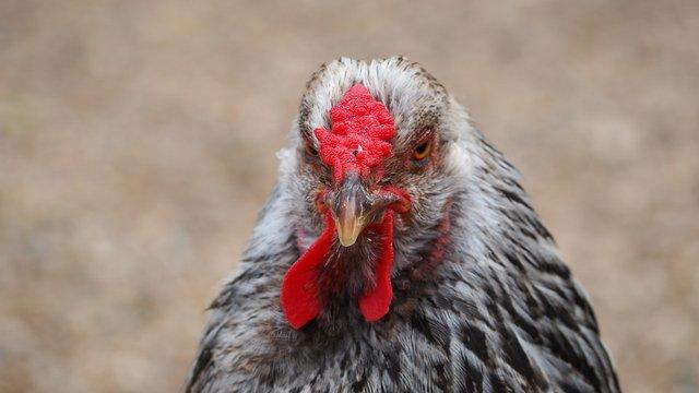 chicken-1421867_960_720.jpg